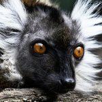LemurFromTheId